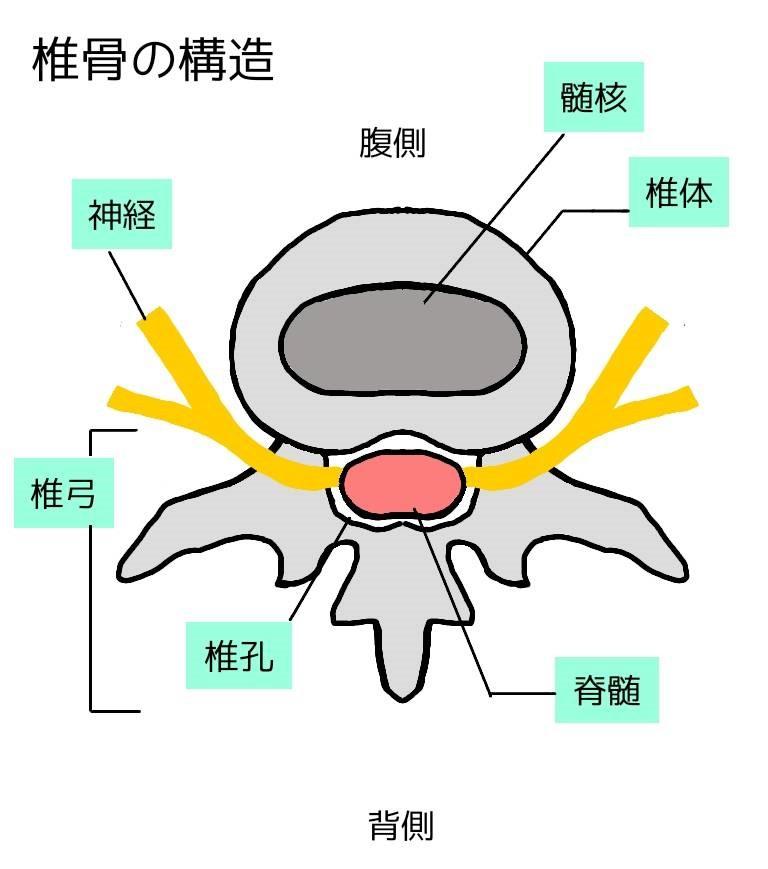 椎骨の構造